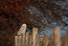 How do you like them Apples (NicoleW0000) Tags: snowyowl owl birdofprey wildlife nature fence appletree canada