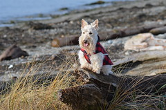 Beach Girl (Neal D) Tags: bc surrey crescentbeach animal dog scottishterrier