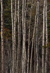 Vertical (gpa.1001) Tags: california owensvalley easternsierra junelake junelakeloop fallcolors monocounty
