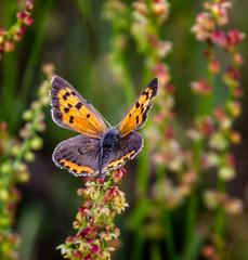 Tip-Top (Portraying Life, LLC) Tags: dbg6 da3004 hd14tc k1mkii michigan pentax ricoh unitedstates butterfly closecrop handheld nativelighting meadow butterflycount