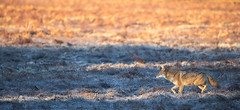 Coyote (1 of 1) (Jami Bollschweiler Photography) Tags: coyote prowl wildlife photography arizona utah photographer