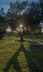 árbol (Carlos Natura) Tags: natural naturaleza árbol nature sun rayosolar verde green shadow sombra contraluz sonyrx100