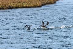 That's my fish!!! (ttchao) Tags: bolsachicaecologyreserve california huntingtonbeach ducks nikon d810 tamron 70300mm tamronsp70300mmf456divcusd