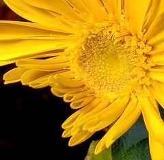 IMG_20200109_214525_936 (leucanthemum b) Tags: gerberadaisy