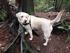 Gracie looking over her shoulder (walneylad) Tags: gracie dog canine pet puppy cute lab labrador labradorretriever january winter princesspark