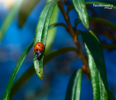 Lady of the house (Pat Kavanagh) Tags: ladybug labcolorspace alberta canada 70300mm nikon d7100