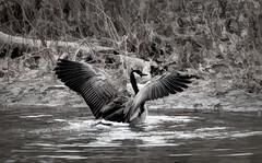 goose wings (Pejasar) Tags: goose wings blackandwhite bw minshalllake tulsa oklahoma water splash bird