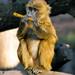 Animal Monkey Baboon Musician Edited 2020