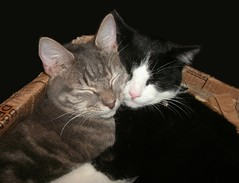 Winter warm-up (skipscales) Tags: cats kitten 9months eddie charlie greytabby tabby tuxedo tuxie blackwhite sleeping bed cardboard box indoors winter