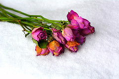 January (Slávka K) Tags: roses flowers snow pink orange green white nopeople lost light macro stilllife winter colors