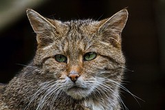 Europäische Wildkatze (Fritz Zachow) Tags: wildparklüneburgerheide wildkatze raubtier nindorf niedersachsen deutschland