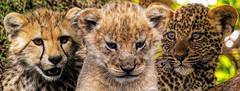 three young hunters (PhilHydePhotos) Tags: africa cheetah feline leopard lioncub mammals mvuli safari seasonofsmallrains serengeti tanzania wildlife cats cubs lion predator