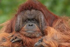 borneo orangutan Kevin Apenheul BB2A0089 (j.a.kok) Tags: animal aap asia azie ape borneoorangoetan borneoorangutan borneo mammal monkey mensaap primate primaat orangutan orangoetan orang zoogdier dier kevin apenheul