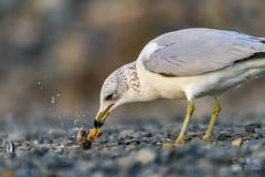 Clam for lunch (ttchao) Tags: bolsachicaecologyreserve california huntingtonbeach bird nikon d810 tamron 70300mm tamronsp70300mmf456divcusd