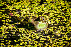 Trying to Blend In (David Oakill) Tags: churchvillenaturecenter hiking outdoors outside toad nature eyes amphibian frog green pennsylvania buckscounty swamp bullfrog wildlife animals