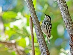 🇺🇸 Black & white warbler FK 7516 (vickyoutenphoto) Tags: vickyouten blackwhitewarbler wildlife nature nikon nikond7200 nikkor55300mm floridakeys florida usa