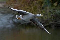 bar-headed goose in flight (Franck Zumella) Tags: bird oiseau oie goose geese animal nature fly flying voler vol white blanc barhead head bar tete barree barre flight