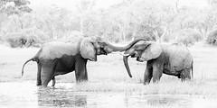 Elephants (Thomas Retterath) Tags: nature natur wildlife safari nopeople 2019 okavangodelta botswana africa afrika khwai bigfive africanelephant elefant elephantidae pflanzenfresser herbivore säugetier mammals animals tiere loxodontaafricana