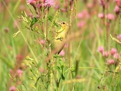 Flowergirl   (female) Cape Weaver  /  (wyfie) Kaapse Wewer (Pixi2011) Tags: birds rietvleinaturereserve southafrica africa wildbirds nature