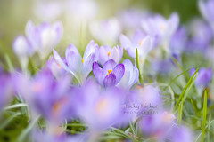 Spring Crocus (Jacky Parker Photography) Tags: crocus spring springflowering springgarden springflowers flower purple perennial closeup selectivefocus focusonforeground beautyinnature freshness fragility purity vitality growth season flowerphotography nikond750 uk