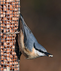 NUTHATCH at SANDY RSPB (11birdman11) Tags: birds britishbirds butterflies bugs moths mammals ngc