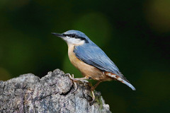 K32P9347c Nuthatch, Lackford Lakes, September 2019 (bobchappell55) Tags: nature wild wildlife lackfordlakes suffolk bird nuthatch sittaeuropaea