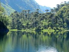 Lago El Toro (Mono Andes) Tags: andes chile chilecentral regióndelaaraucanía parquenacional parquenacionalhuerquehue lagunaeltoro araucaria araucariaaraucana bosque