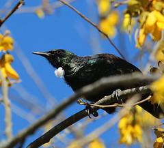 Tui (jpotto) Tags: newzealand aotearoa tui bird hukafalls taupo
