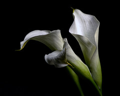 White Cala Lilly Trio 1214 (Tjerger) Tags: nature beautiful beauty black blackbackground bloom blooming closeup fall flora floral flower flowers green lillies lilly macro plant portrait three trio white wisconsin yellow callalilly bllooms natural blooms cala plants blackbackgroundportrait