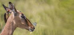 Impala, Oxpecker and Butterfly (Sheldrickfalls) Tags: brownveinedwhite belenoisaurotaaurota impala rooibok redbilledoxpecker oxpecker buphaguserythrorhynchus krugernationalpark kruger krugerpark mpumalanga southafrica