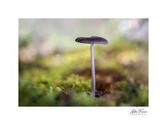 Ephemeral scapes (g.femenias) Tags: mushroom fungus moss nature sunlight naturallight bokeh macro macrophotography pinardenroca bonany petra mallorca stackfocusing
