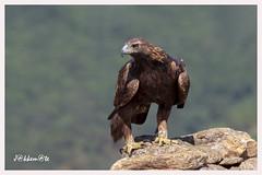Aguila Real Hembra (Aquila chrysaetos) (JORGE AMAYA BUSTAMANTE - JAKKEMATE) Tags: golden eagle jakkemate nikon d500 sigma 150600 sports guadarrama omar alonso jorge amaya bustamante