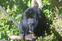 Black Howler Monkey (Alouatta caraya) - Paignton Zoo, Devon - Sept 2019 (Dis da fi we) Tags: black howler monkey alouatta caraya paignton zoo devon