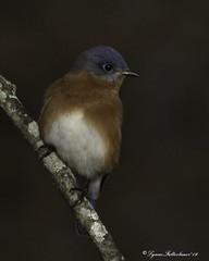 2I1A4548a (lfalterbauer) Tags: bluebird canon 7dmarkii wildlife nature dslr digital camera ornithology avian bird outdoor lake