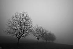 neverlone trees 01.01.2020 (matthias416) Tags: schönberg breisgau blackforrest schwarzwald monochrome bw monochrom nebel fog haze nebulae trees bäume silhouettes silhouetten winter nikon bestcapturesaoi
