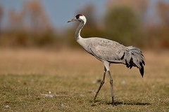 Common Crane (Andrej Chudy) Tags: bird birding birdwatching usa america trip canon wild wildlife animal nature europe outdoor canon600mmf4isusm canon5dmarkiv hungary hortobagy hortobagynemzetipark autumn migartion
