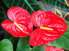 The method of nature: who could ever analyze it?  (Ralph Waldo Emerson) (boeckli) Tags: anthurium flowers red wellington 022551 rx100m6 rot farbig farbenfroh flower flora fleur indoor plants pflanzen plant pflanze bright newzealand begoniahouse nature natur
