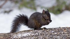 Écureuil noir,  black squirrel, Québec, Canada  - 5204 (rivai56) Tags: écureuilnoir blacksquirrel québec canada écureuil squirrel nature beautiful cute beau animal mangeant des graines de tournesol fantasticnature