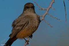 Prophetic Radiance (Jasper's Human) Tags: saysphoebe bird flycatcher