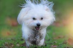 Mucky Pup... (KissThePixel) Tags: family dog pet love terrier maltese whitedog purewhite purewhitedog cute home animal garden naughty nikon funny adorable malteseterrier tamron mischievious 150600mm tamron150600mm nikond750 kissthepixel longacremanor portrait mud bokeh january muddy dogphotography mucky muckypup dogportrait daisydog crazydaisy