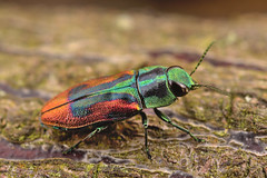 Anthaxia candens (Gilles San Martin) Tags: jambes buprestidae coleoptera jarjambes place