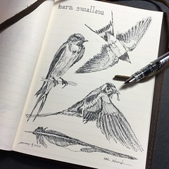 Barn swallow (schunky_monkey) Tags: fountainpen penandink ink pen illustration art drawing draw jounral sketchbook sketching sketch birds bird swallow barnswallow