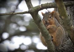 Squirrel, Morton Arboretum. 457 (EOS) (Mr. Mega-Magpie) Tags: canon eos 60d nature wildlife outdoors tree branch squirrel the morton arboretum lisle dupage il illinois usa america