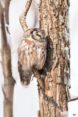''Douce lumière!'' Nyctale de tengmalm-Boreal owl (pascaleforest) Tags: oiseau bird animal nikon nature wild willdife faune québec canada