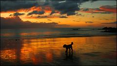 Walking Dog (angelofruhr) Tags: beautiesbeasts beach strand sonnenuntergang sunset bretagne frankreich küste spiaggia dog hund