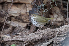 Ovenbird (Greg Lavaty Photography) Tags: ovenbird seiurusaurocapilla texas january fortbendcounty brazosbend statepark backlit birdphotography outdoors bird nature wildlife