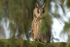 Waldohreule (Asio otus) (hotte54) Tags: waldohreule wildlife 1dxii canon ngc naturepicutrede strigidae bird birds