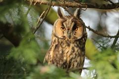 Waldohreule (Asio otus) (hotte54) Tags: waldohreule owls wildlife ngc naturepicturede 1dxii canon strigidae bird birds specanimal