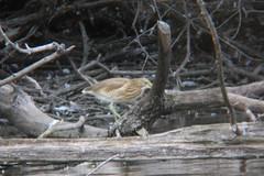 Crabier chevelu Ardeola ralloides Squacco Heron (aigledayres) Tags: crabierchevelu ardeolaralloides squaccoheron
