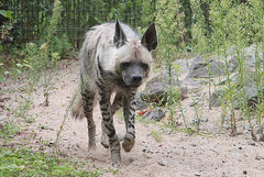 On the prowl (Schwanzus_Longus) Tags: german germany zoo animal mammal predator hyena magdeburg striped africa african